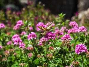 Yellow butterfly on purple flowers in Castle of the Moors garden