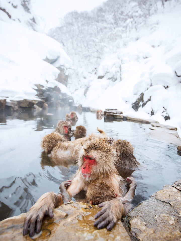 Snow monkeys bathing in hot spring with snowfall
