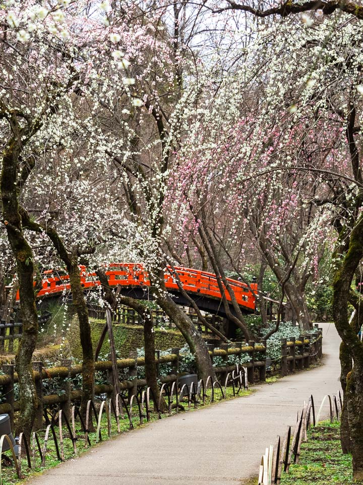 Plum blossom trees with path leading to red zen bridge