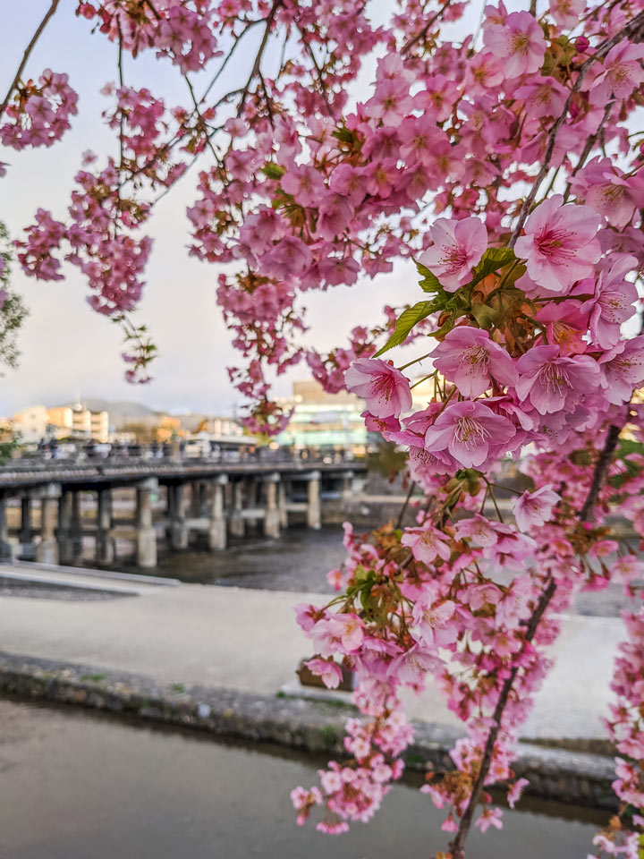 Cherry blossoms with Pontocho bridge and river in background
