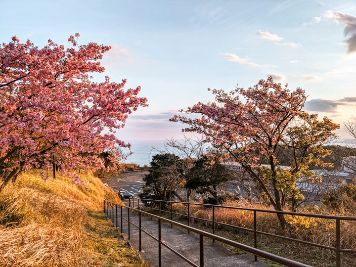 Cherry blossom trees on grassy hill by ocean at sunset in Shizuoka, an underrated 10 day Japan itinerary destination