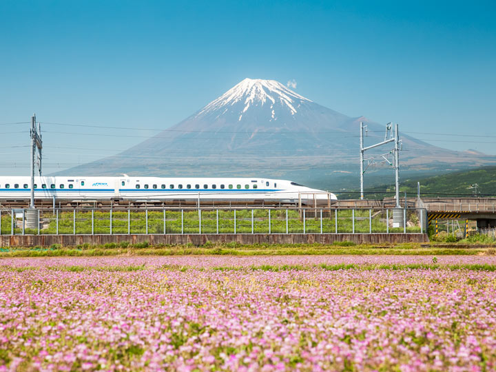 Bullet train traveling down track between Mount Fuji and purple flower field