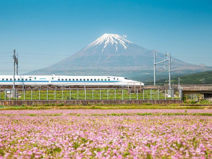 Bullet train traveling down track between Mount Fuji and purple flower field