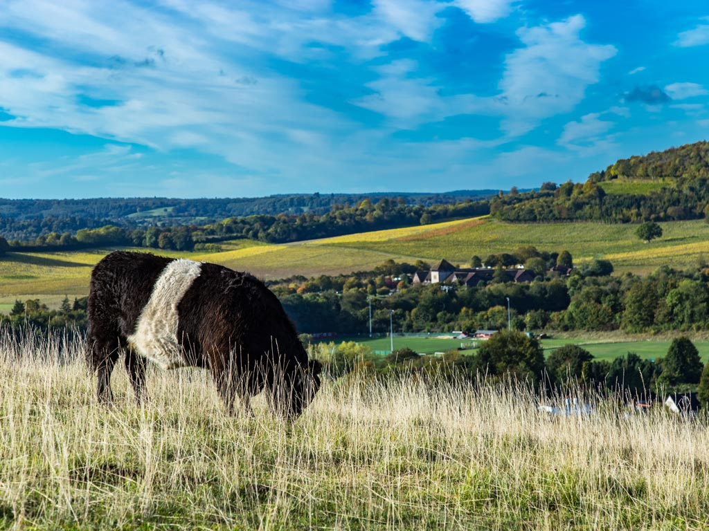 View of Box Hill countryside on sunny day with cow in the foreground.