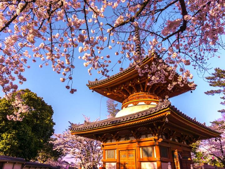 Omiya Hikawa Shrine pagoda surrounded by pink cherry blossoms