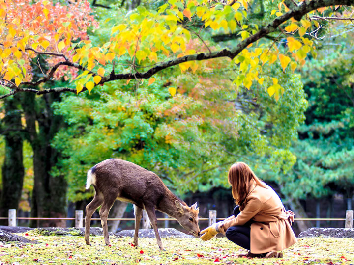 Girl kneeling to feed Nara deer under autumn leaves during Kyoto day trip