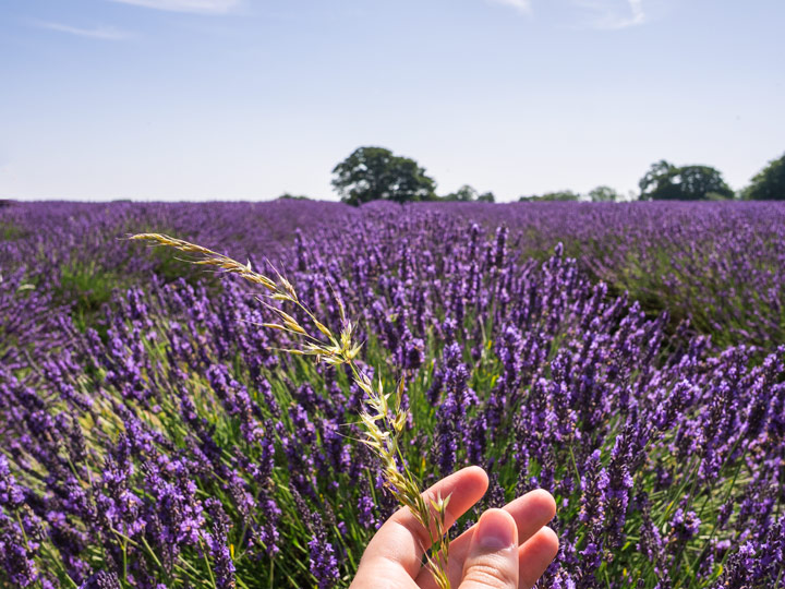 Hand holding wheat stalk in front of purple lavender field