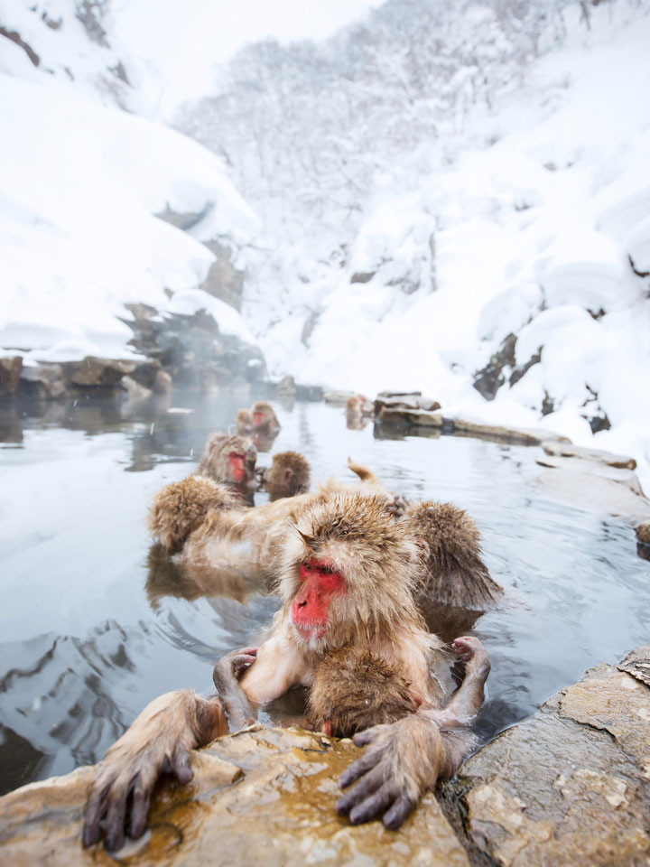 Jigokudani snow monkeys bathing in water after snowstorm, one of the most famous things in Japan to see in winter