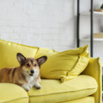 Corgi sitting on yellow couch after owner learned how to find pet friendly apartments in London