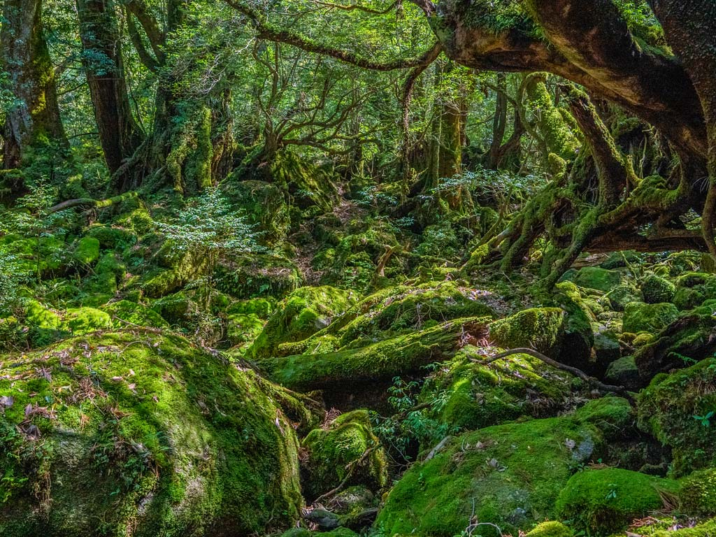 Lush green trees and mossy rocks inside primeval Yakashima forest