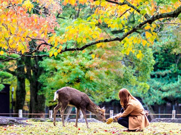 Girl feeding deer in Nara Japan during autumn