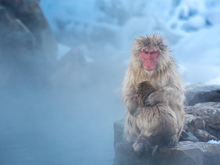 Nagano Japan snow monkey with baby at Jigokudani onsen