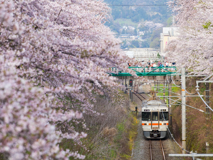 Japan train on tracks surrounded by cherry blossom trees