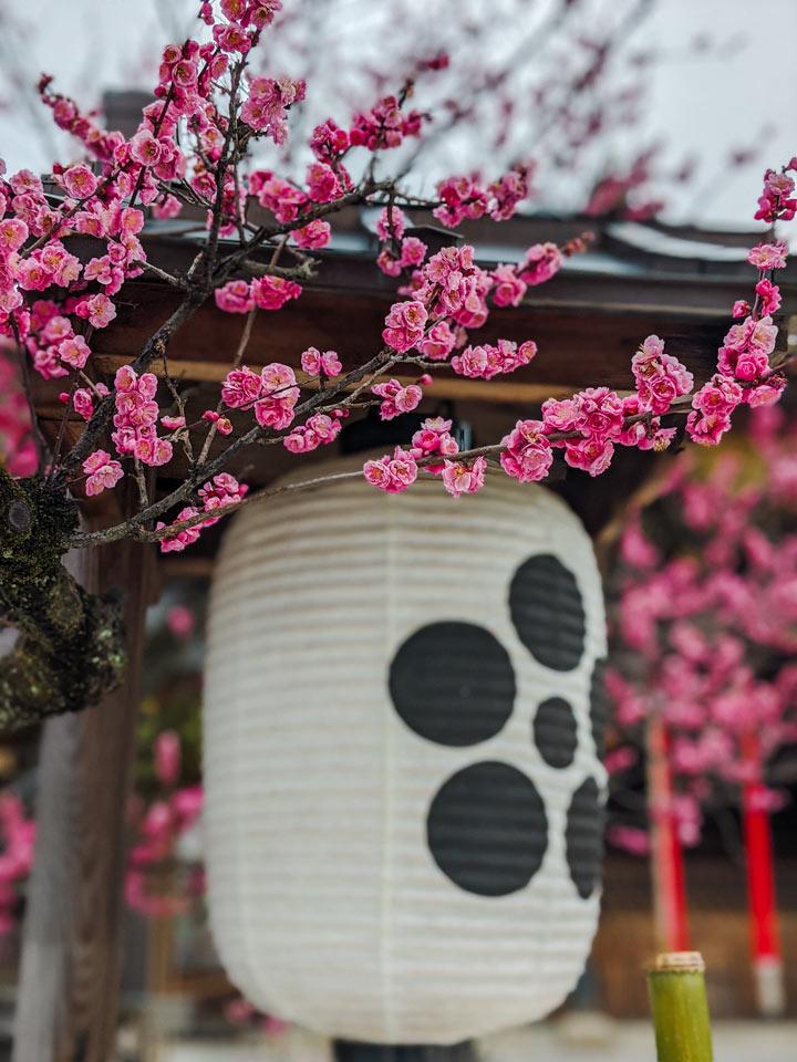 White paper lantern and pink plum blossoms at Kitano Tenmangu