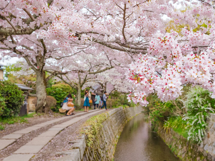 Cherry blossoms hanging over canal by Philosopher's Path walkway