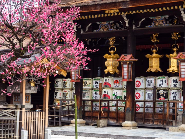 Kitano Tenmangu shrine with sake barrels and pink plum blossom tree