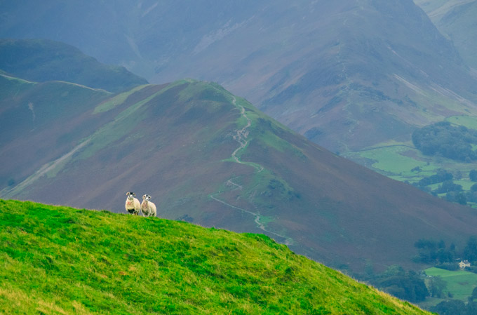 View of sheep near Latrigg car park
