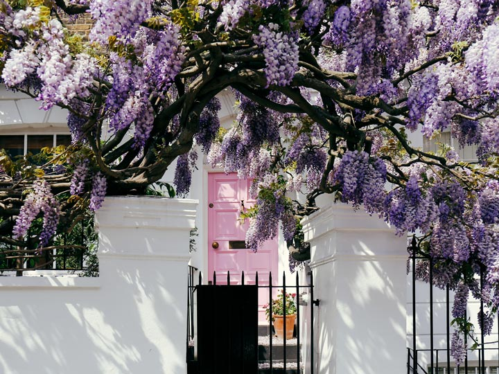 White London flat with pink door draped in purple wisteria