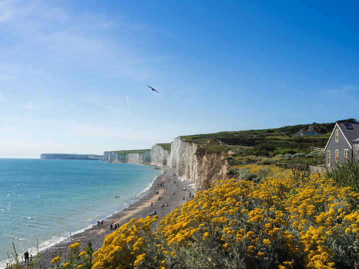 England Seven Sisters Cliffs with yellow flowers in the foreground and ocean beach below