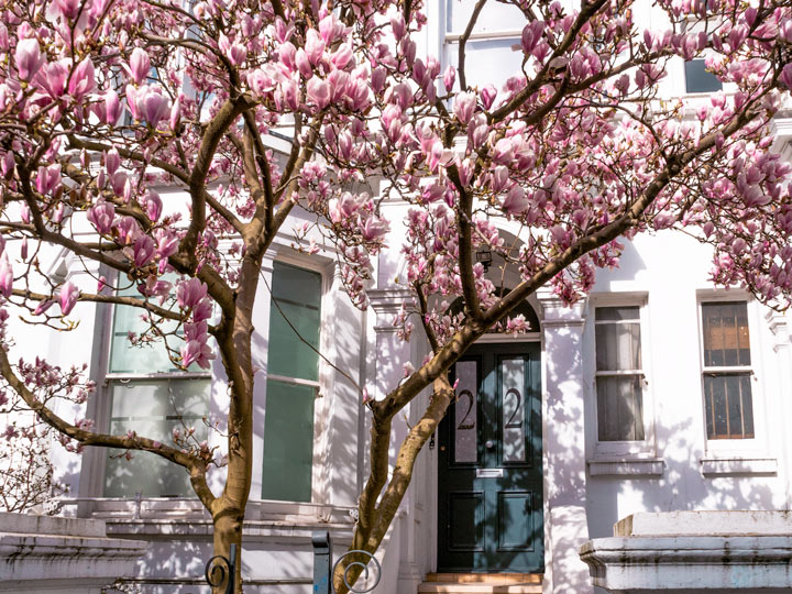 White house with pink magnolia tree blooming in front