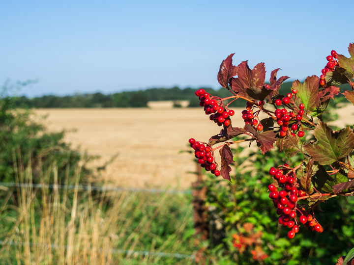 Red berries next to open field in Suffolk England