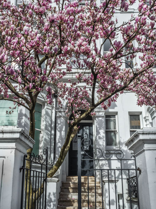 Pink magnolias in front of London Notting Hill house