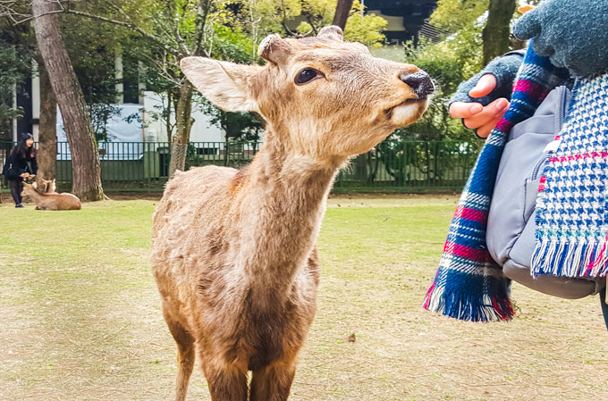 Feeding Nara Deer during my Nara day trip
