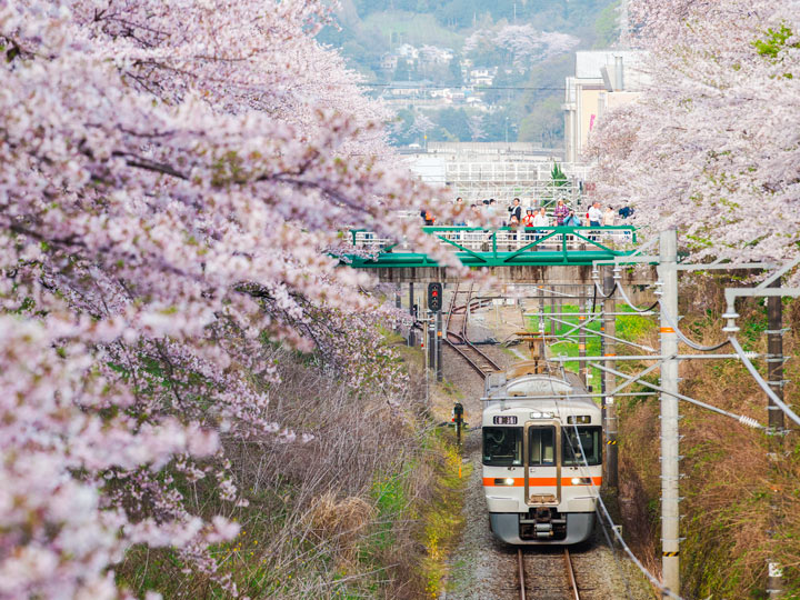 Cherry blossom trees near train traveling to places to visit between Tokyo and Kyoto