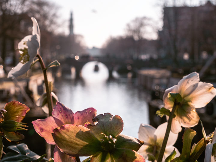 Pink and white flowers in front of Amsterdam canal at sunset