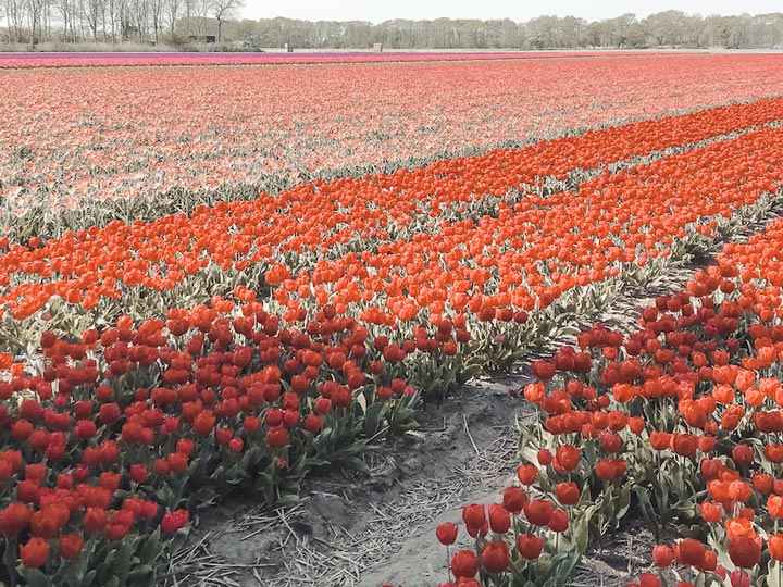 Lisse tulip fields of red and pink