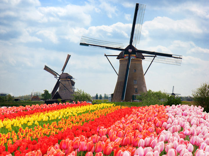 Netherlands tulip fields with windmills in background