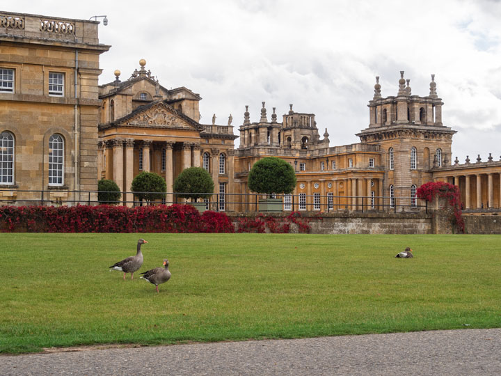 View of Blenheim Palace with red ivy and ducks in the foreground