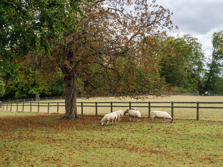 Sheep grazing under tree with autumn leaves