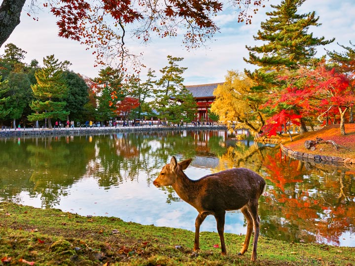 Nara deer in front of lake with shrine and fall foliage